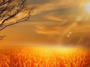 wheat-391791_1280